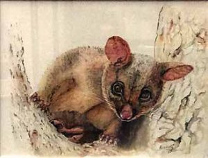 Brushtail possum by Rosemary Morgan